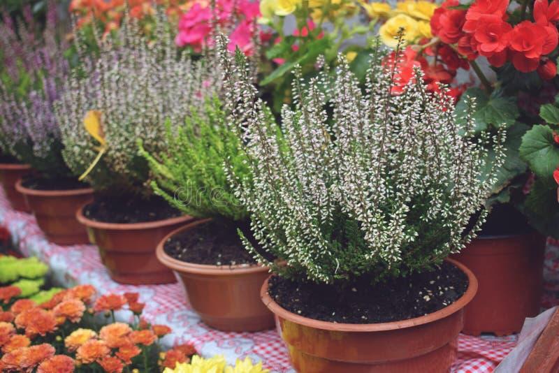 Mercado de la flor de la calle, tienda con las diversas flores en potes Brezo floreciente multicolor, crisantemos en tienda de fl foto de archivo