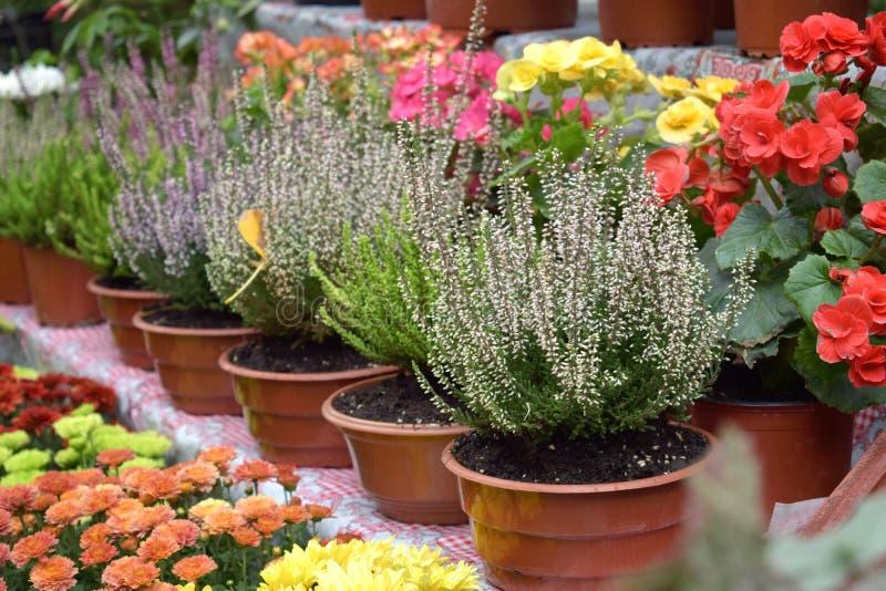 Mercado de la flor de la calle, tienda con las diversas flores en potes Brezo floreciente multicolor, crisantemos en tienda de fl fotos de archivo