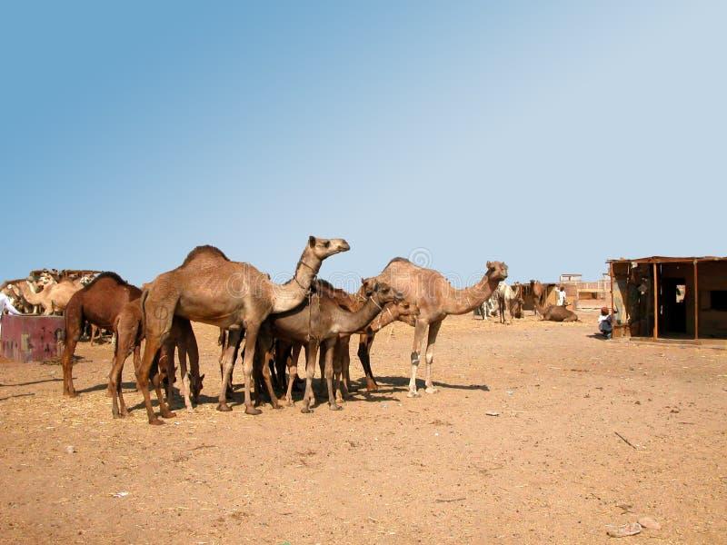 Mercado del camello en el desierto del sur Egipto fotos de archivo