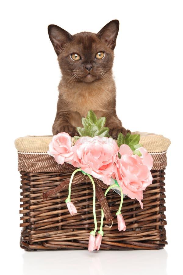 Merce nel carrello birmana del gattino su fondo bianco fotografia stock