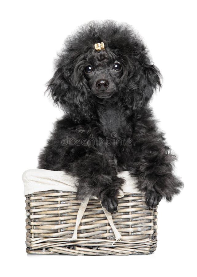 Merce nel carrello del cucciolo di Toy Poodle su fondo bianco fotografia stock libera da diritti