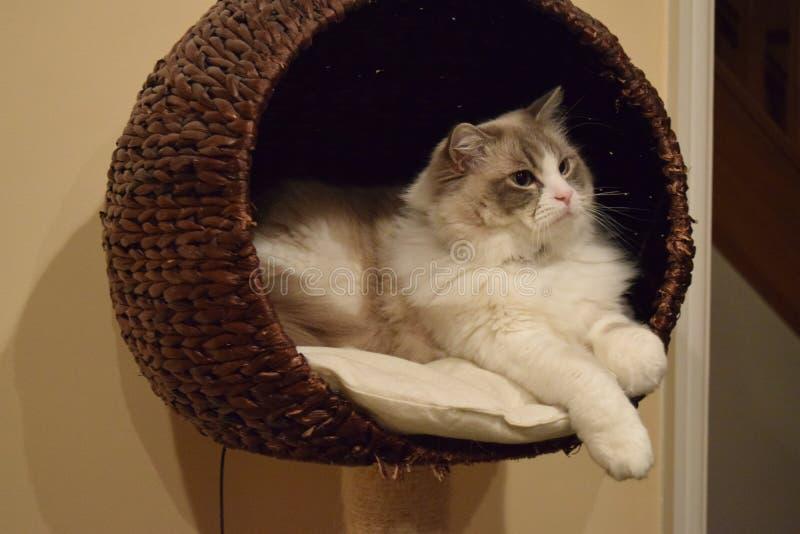 Merce nel carrello del gattino di Ragdoll immagini stock