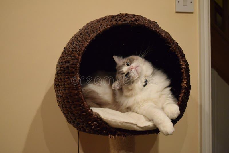 Merce nel carrello del gattino di Ragdoll fotografia stock libera da diritti
