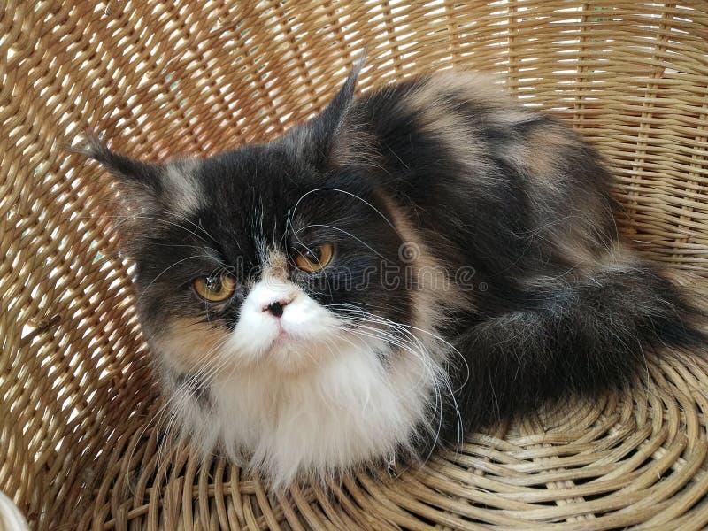 Merce nel carrello del gatto persiano del calicò fotografie stock libere da diritti