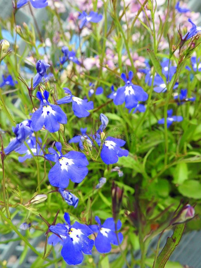 Merce nel carrello graziosa di crescita di fiori di lobelia del paese immagini stock libere da diritti