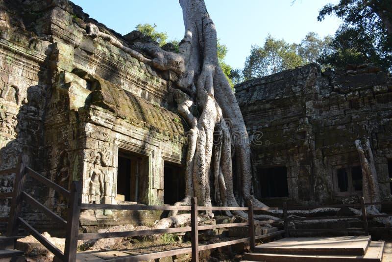 Merci le temple de prohm couvert dans l'arbre s'enracine, Angkor Vat, Cambodge image stock