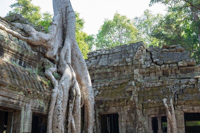 Merci temple de Prohm avec la fin vers le haut du banian géant images libres de droits