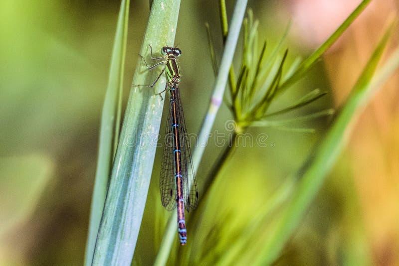 Mercuriale do sul de Coenagrion da seta bonita da libélula dos verde-azuis celestes imagem de stock