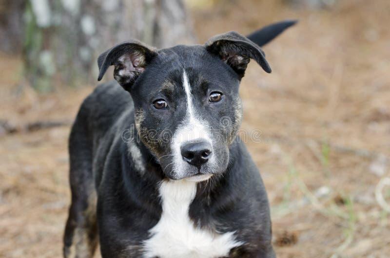 Merdanie ogon, mieszany trakenu szczeniaka pies, młody czerni, białego i brown, obraz royalty free
