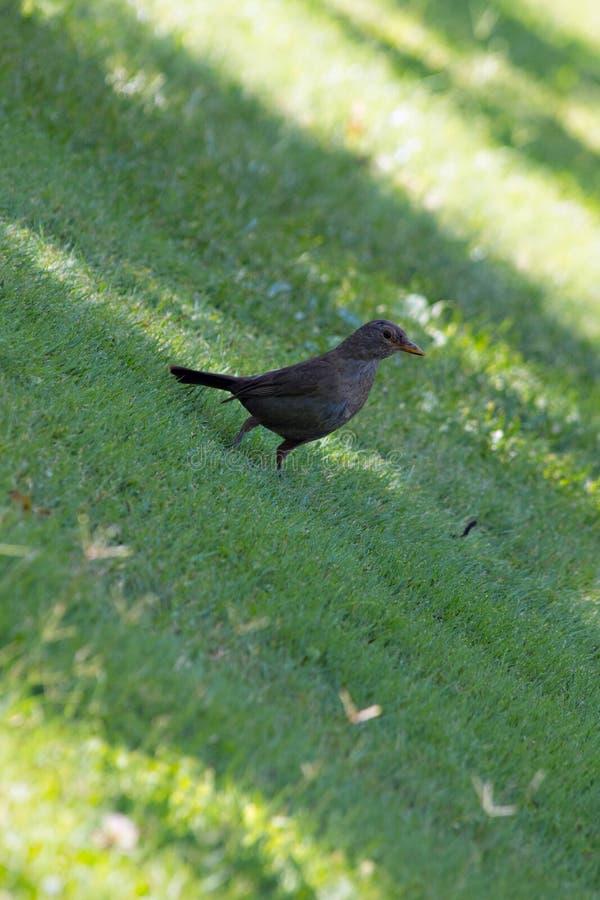 Merelzitting op het gras stock foto