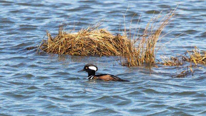 merganser утки с капюшоном стоковые фото