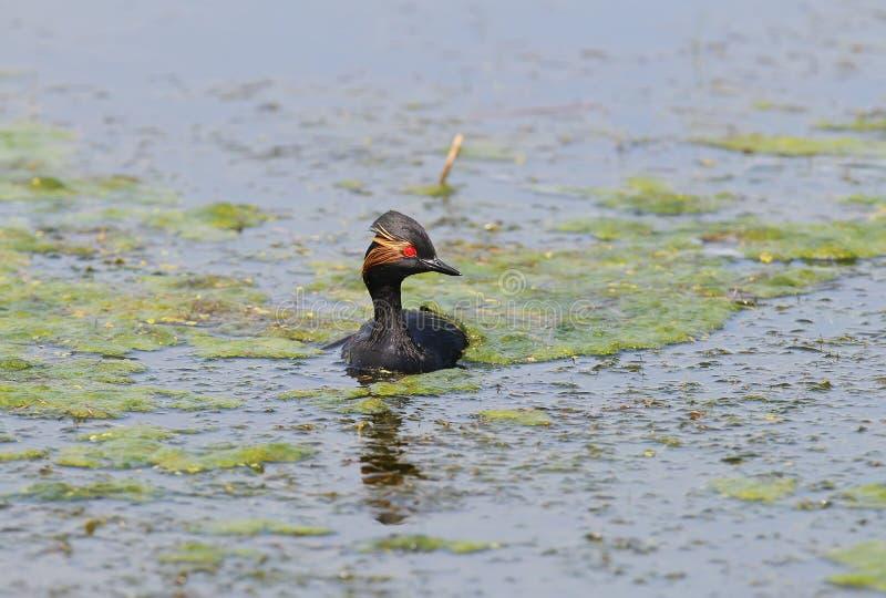 Mergulhão necked preto nadador fotos de stock