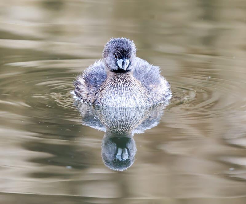 mergulhão Pied-faturado, adulto da criação de animais foto de stock