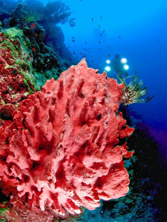 Mergulhador atrás do coral vermelho fotografia de stock royalty free