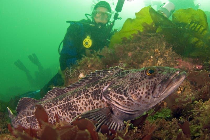 Mergulhador com bacalhau de Ling fotos de stock royalty free