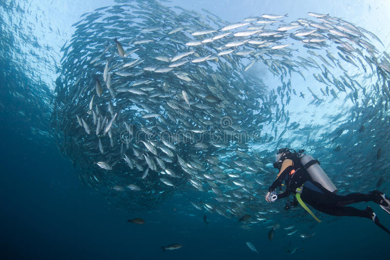 Mergulhador com uma escola dos jaques imagem de stock royalty free