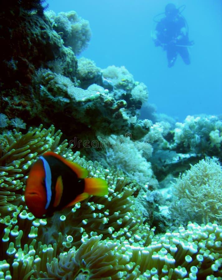 Mergulhador de Clownfish foto de stock