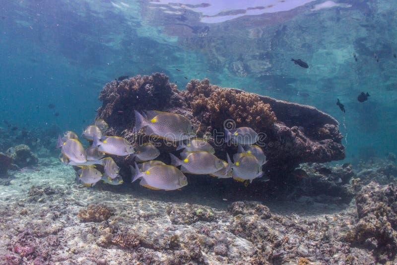 Mergulhador de mergulhador com escola da caranga fotos de stock
