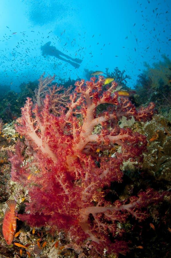 Mergulhador do mergulhador e coral macio do colorfull fotos de stock royalty free