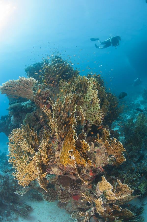 Mergulhador no recife de corais tropical foto de stock royalty free