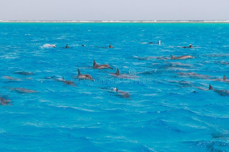 Mergulhando a natação dos povos com os golfinhos no mar da água azul, beleza da natureza, giradores brincalhão bonitos, divertime fotografia de stock