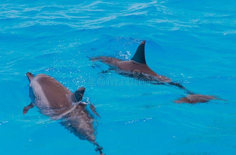 Mergulhando a natação dos povos com os golfinhos no mar da água azul, beleza da natureza, giradores brincalhão bonitos, divertime fotos de stock