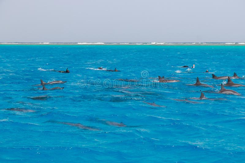 Mergulhando a nata??o dos povos com os golfinhos no mar da ?gua azul, beleza da natureza, giradores brincalh?o bonitos, divertime fotografia de stock royalty free