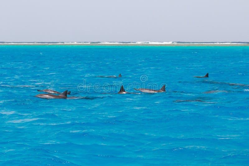 Mergulhando a nata??o dos povos com os golfinhos no mar da ?gua azul, beleza da natureza, giradores brincalh?o bonitos, divertime fotos de stock royalty free