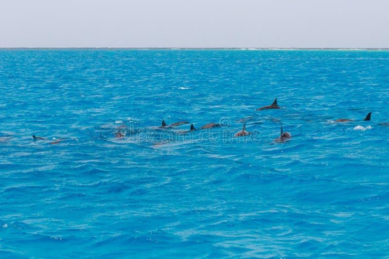 Mergulhando a nata??o dos povos com os golfinhos no mar da ?gua azul, beleza da natureza, giradores brincalh?o bonitos, divertime imagem de stock