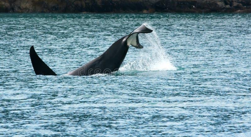 Mergulho da orca com cauda uplifted foto de stock