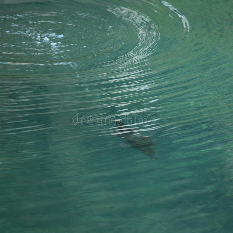 Mergulho De Platypus Imagem de Stock
