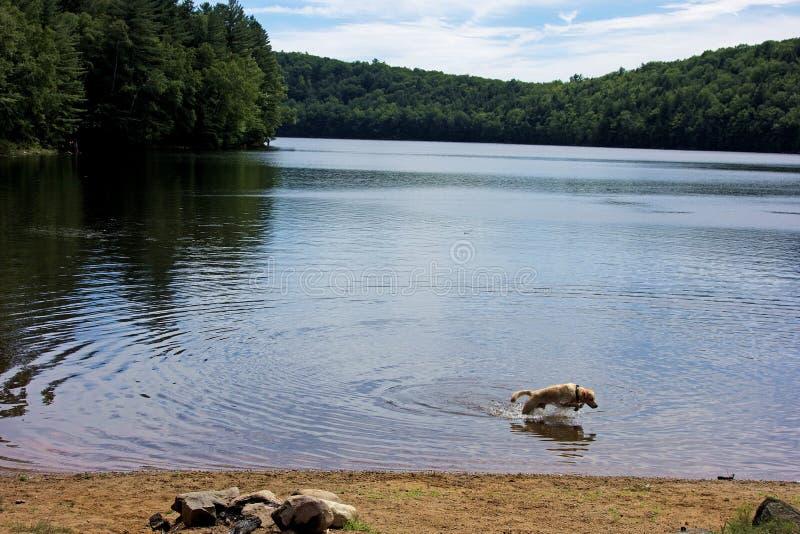 Mergulho do cão e salto no lago foto de stock royalty free