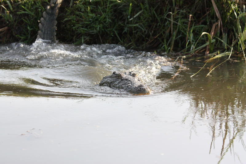 Mergulho do crocodilo na água foto de stock