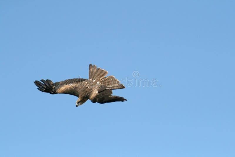 Mergulho do falcão foto de stock