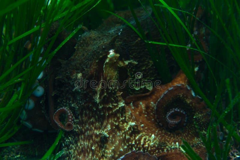 Mergulho e fotografia subaquática, polvo sob a água em seu habitat natural ilustração do vetor
