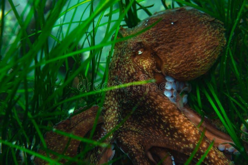 Mergulho e fotografia subaquática, polvo sob a água em seu habitat natural ilustração stock
