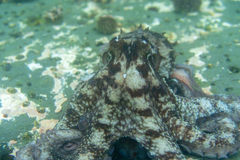 Mergulho e fotografia subaquática, polvo sob a água em seu habitat natural ilustração royalty free