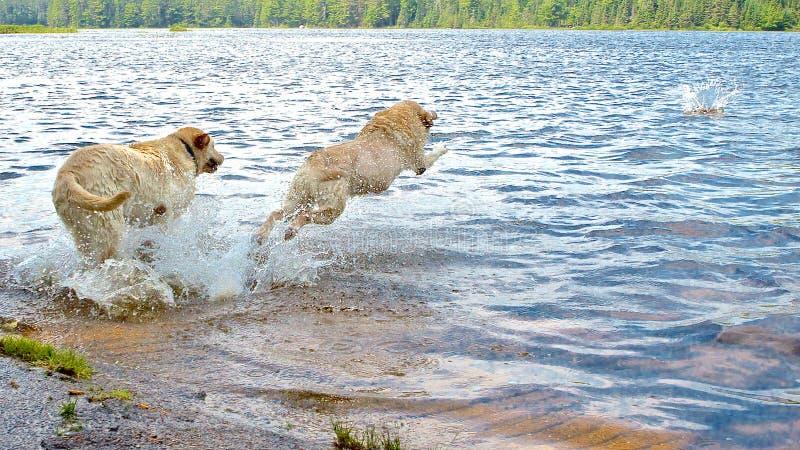 Mergulho Labradors imagem de stock royalty free