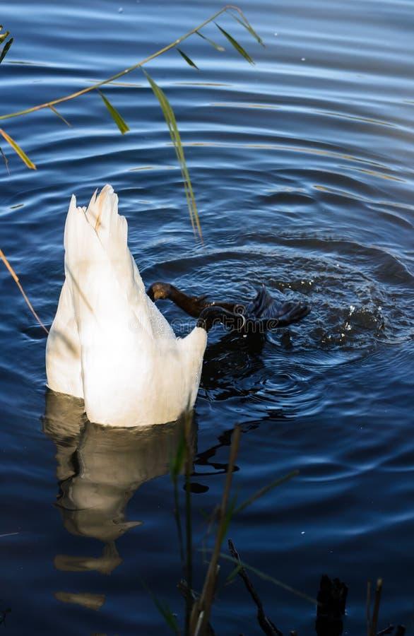 Mergulho selvagem da cisne foto de stock