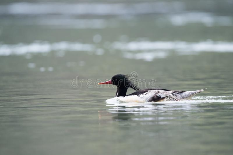 Mergus squamatus chinese merganser royalty free stock image