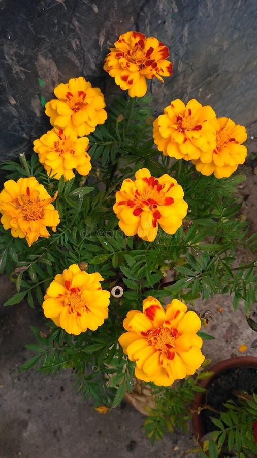 Meri złota kwiaty fotografia royalty free