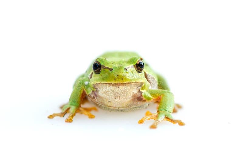 Meridionalis communs européens verts de Hyla de grenouille image stock