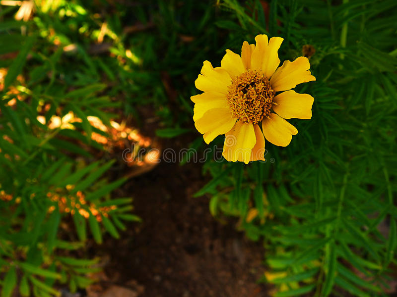 Merigold flower yellow. stock photo