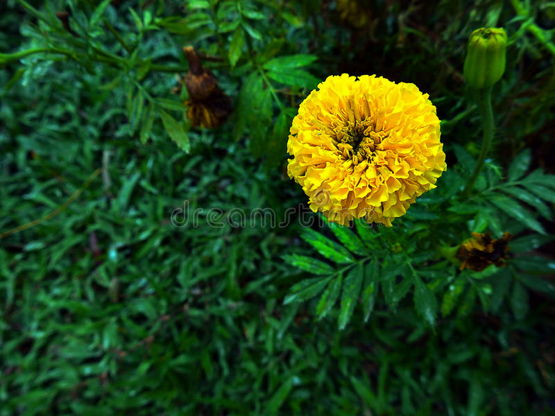 Merigold flower yellow. royalty free stock photography