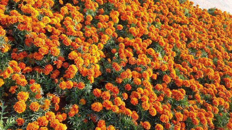 merigold hermoso en tiempo de la primavera foto de archivo libre de regalías
