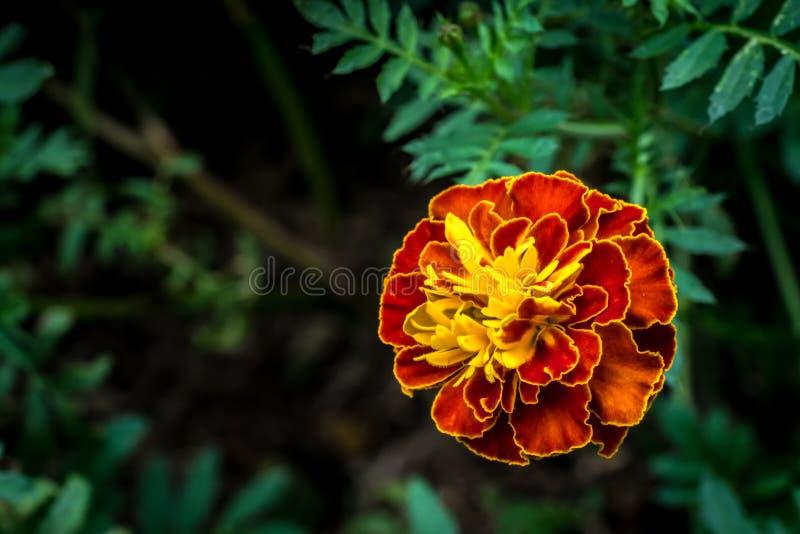 Merigold-Orangenblume lizenzfreies stockbild