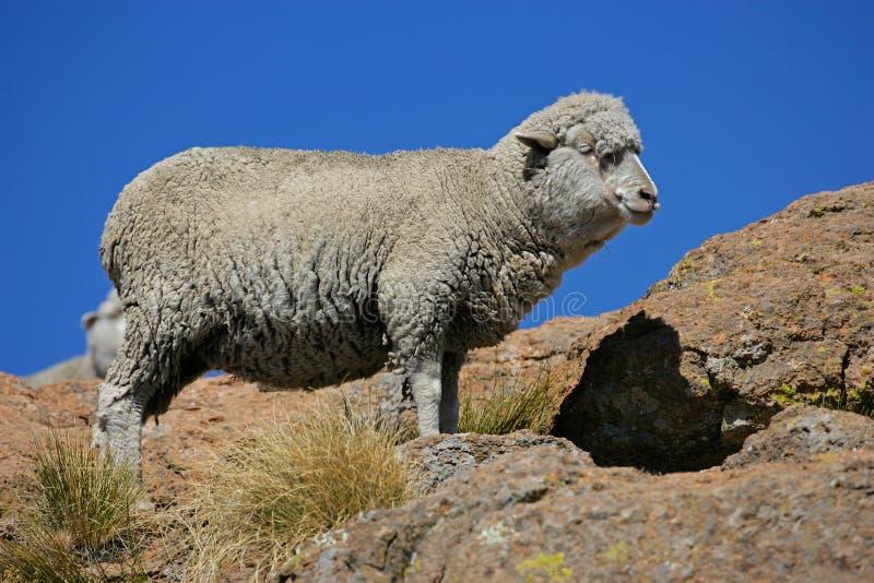 Merino sheep. A merino sheep standing on a roch against a blue sky stock photo