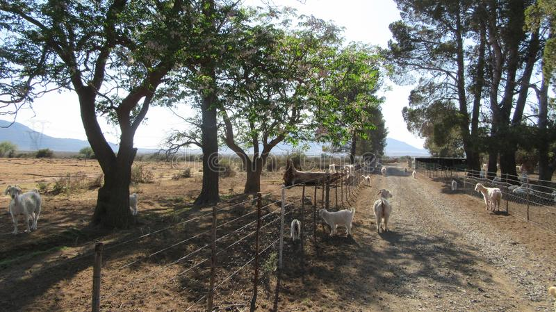 Merino Sheep Farm. Merino farm in the Karoo SouthAfrica royalty free stock photo