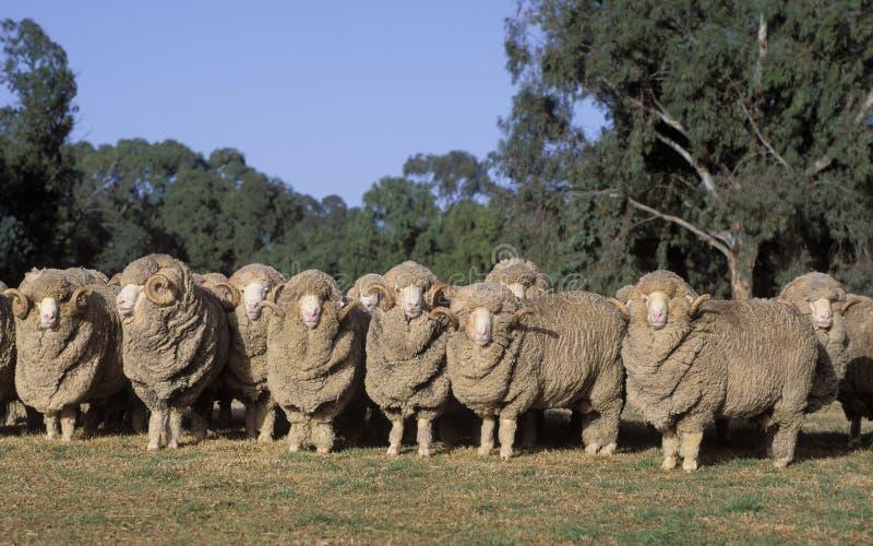 Merino sheep royalty free stock photography