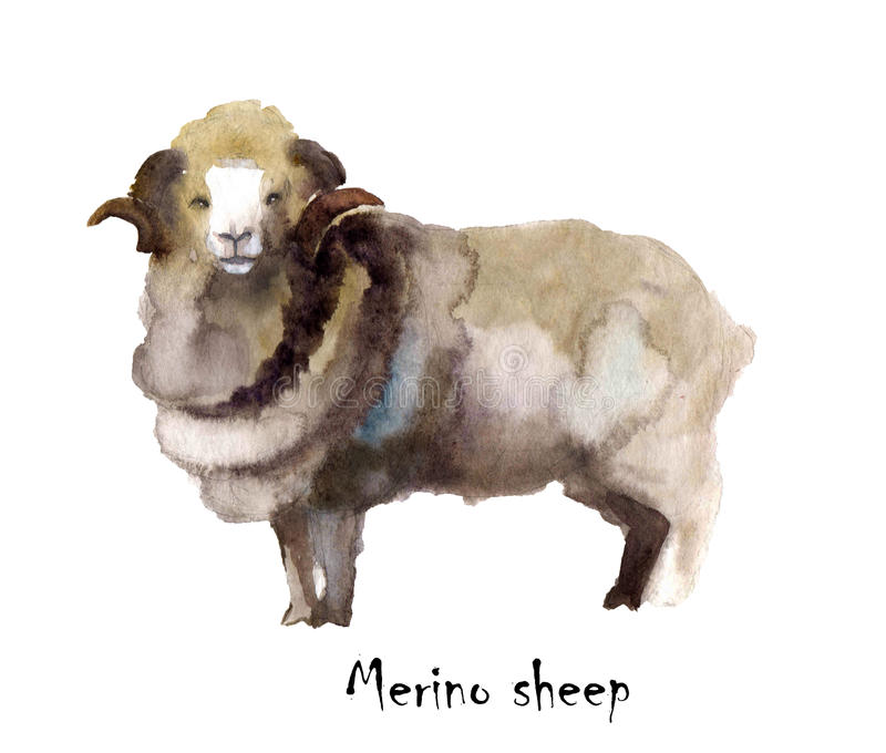 Merino sheep watercolor on the white background. hand drawn cute illustration. Creative farm animals. Background for Muslim Commun vector illustration